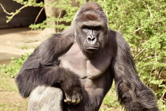 Armed robbers, not gorilla stole money in Kano Zoo –MD