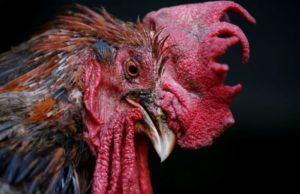 Noise pollution: How man sues Cockerel, loses case