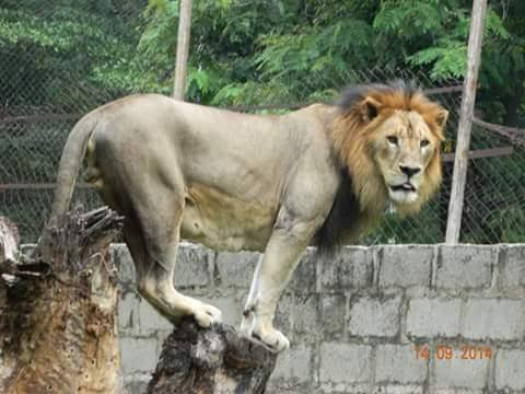Relief in Kano as lion on the loose is captured, returned to cage